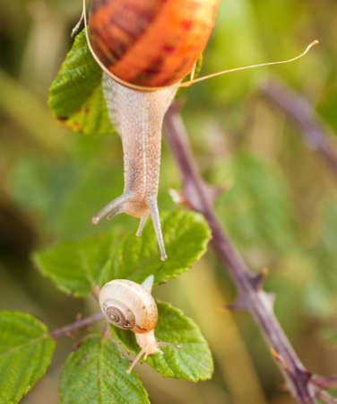 Two snails on a leaf photo