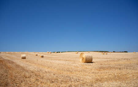 Ripe wheat ears Stock Photo - 9747757