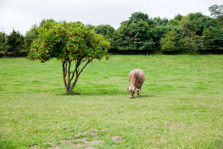 Cow grazing in a meadow photo