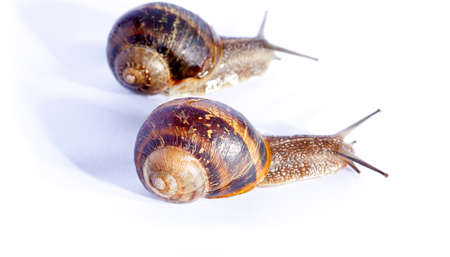 edible snail: Snails isolated on white background