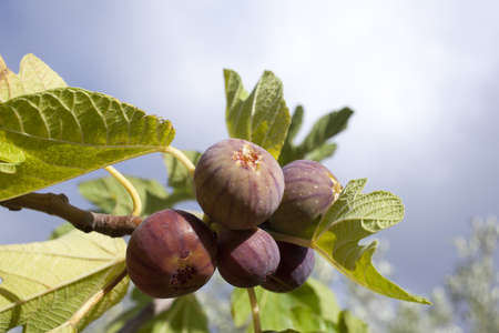 Figs on the branch