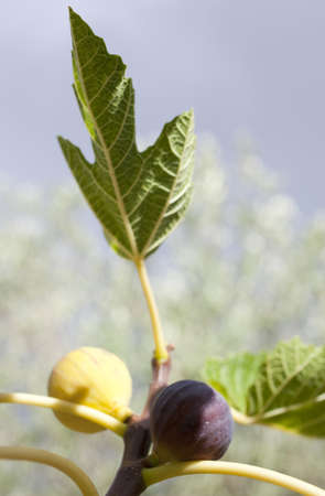Figs on the branch photo