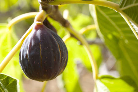 Fig on the branch