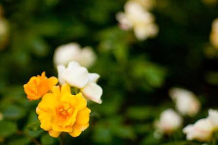 wonderfull: Wonderfull rosas de colores en el jard�n