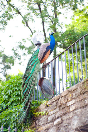 peafowl: Male Indian Peafowl on a railing