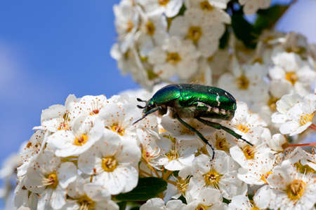 microcosm: Green beetle on a white flower