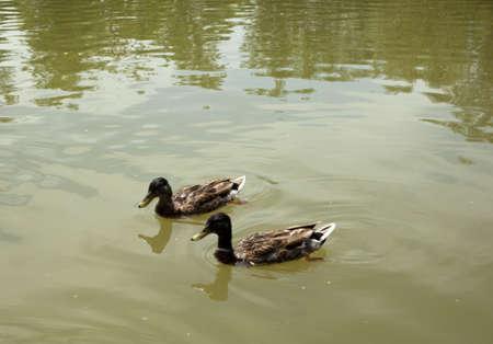 wade: Ducks on water