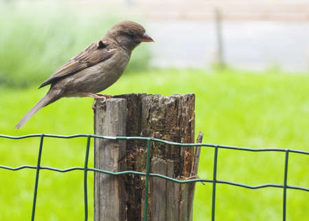 Sparrow on chain-link fence photo