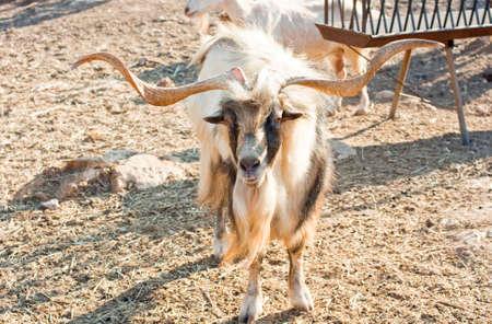 Goats in the Greece farm photo