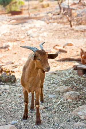 Brown goat in the farm photo