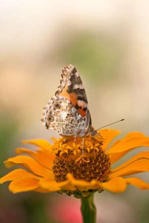 Wonderful butterfly on a orange flower photo