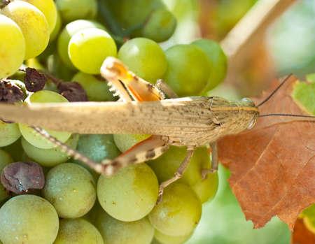 Close up of Grasshopper on white grape Stock Photo