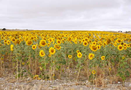 A lot of Sunflowers in spanish countryside