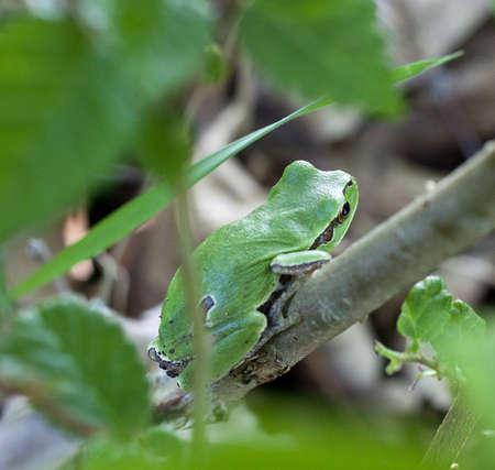 hyla: Hyla arborea, European tree frog