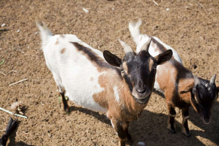 Young Goats in the farm Stock Photo - 12126085