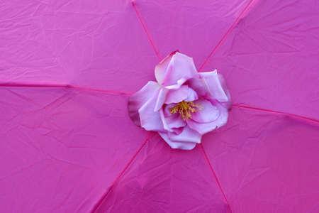 lilla: Lilla rose on fuchsia background