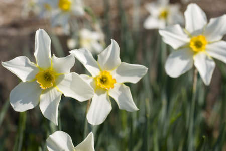 White daffodils on bed flower photo