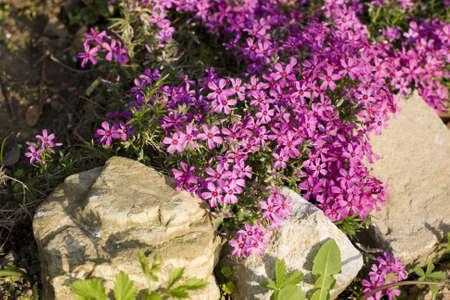 flores fucsia: Lecho de flores con flores fucsias Foto de archivo