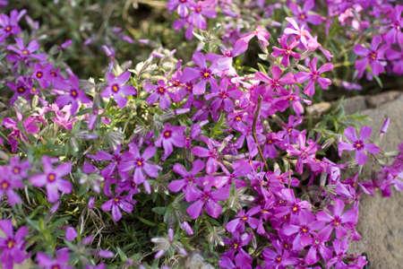 flores fucsia: Fondo con las flores fucsia