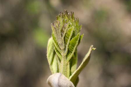 ash tree: Foto di foglie fresche Ash