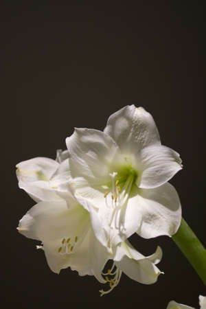 Amarillo flower Stock Photo - 12341273
