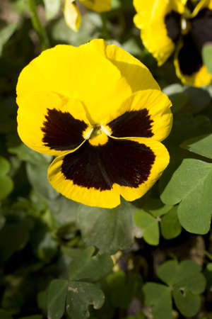 Yellow pansy flowers in the bed flower photo