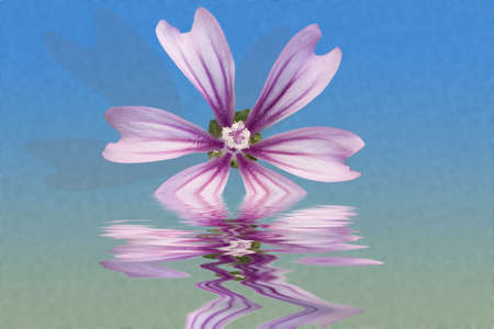 Malva sylvestris on water and blue background