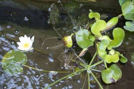 Photo of Nymphaea , Water Lilly photo