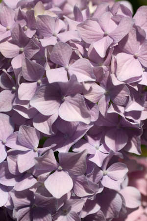 lilla: Background of a lilla Hydrangea petals