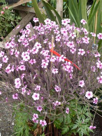 flores fucsia: Planta en maceta con flores color fucsia Foto de archivo