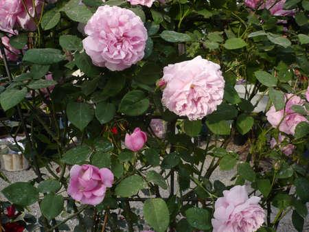 flores fucsia: Foto de una planta con flores color fucsia