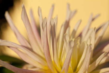 lilla: Petals of white and lilla flowers Stock Photo