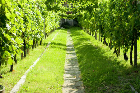 Road in the  green Vineyard photo