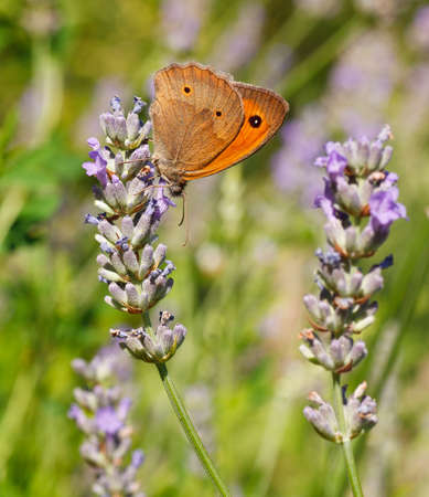 Photo of Butterfly on lavender flowers in bloom photo