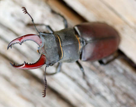 Close up of stag beetle - Male Lucanus cervus on dead wood photo