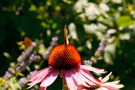 Close up of Butterfly on Echinacea flower in the spring season photo