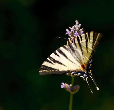 Old World Swallowtail on lavender flowers in bloom photo