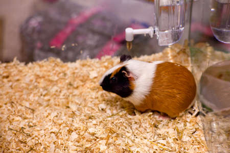 Photo of nice hamster in the sawdust Stock Photo - 13091985