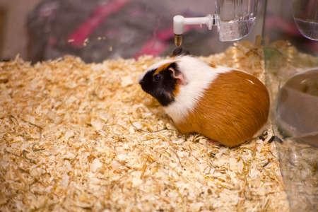 burrow: Photo of nice hamster in the sawdust