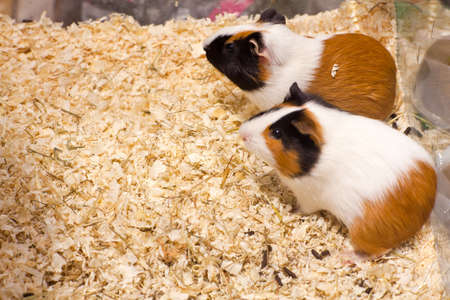 sawdust: Photo of nice hamsters in the sawdust Stock Photo