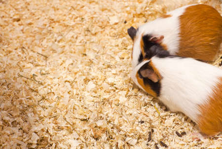 hamsters: Photo of nice hamsters in the sawdust Stock Photo