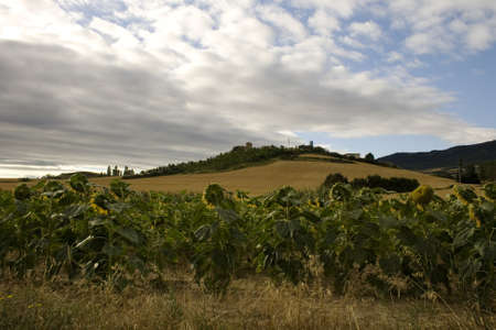 A lot of Sunflowers in spanish countryside Stock Photo - 13856064