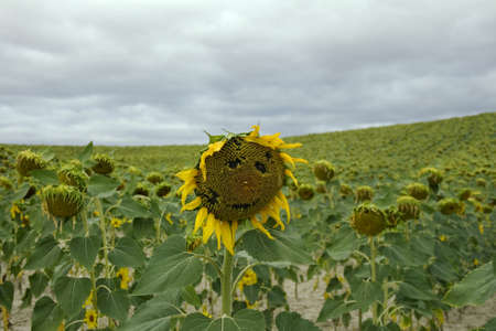 Sunflowers smile in spanish countryside photo