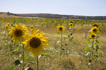 A lot of Sunflowers in spanish countryside Stock Photo - 13841979