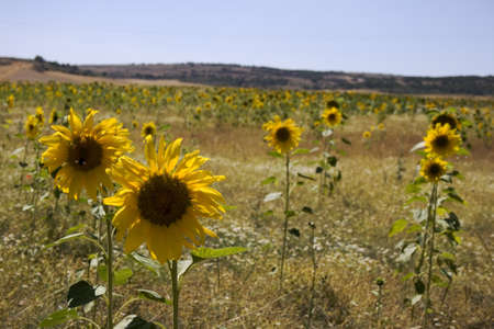 A lot of Sunflowers in spanish countryside photo