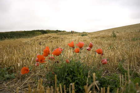 Poppies; Way of St. James in the summer photo