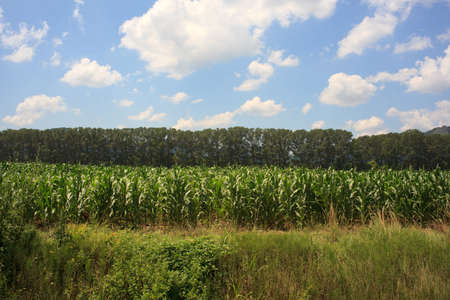 Photo of corn plants on a farmland Stock Photo - 14763199
