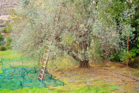 View of Olives harvest in Sicily countryside photo