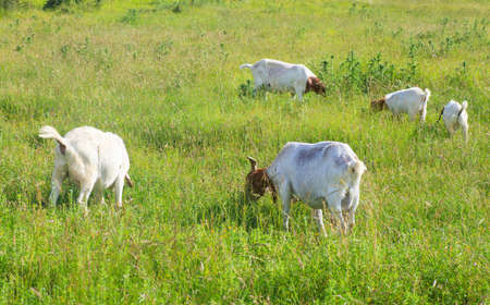 baby ass: Goats grazing in the green countryside