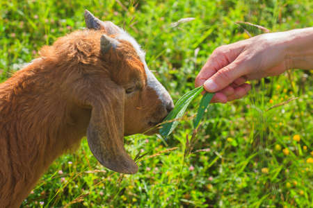 Goat grazing in the green countryside Imagens